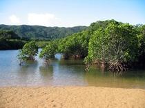 吹通川のマングローブ