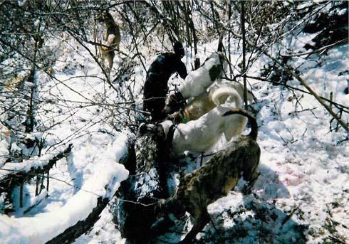 ★野生のいのししを追う猟犬★