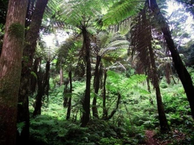 ヘゴシダの森