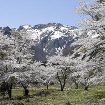 徒歩1分の桜並木