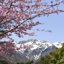 谷川岳と桜