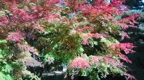 *紅葉/秋の紅葉シーズンにはこんな美しい姿を見せてくれます。