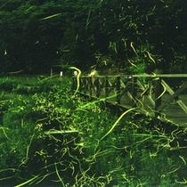 ≪6月≫ 辰野町「ほたる童謡公園」 蛍乱舞 (写真提供:辰野町観光協会)