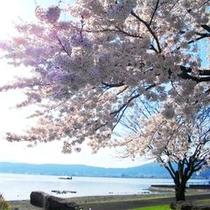 諏訪湖畔の桜♪♪「間欠泉・足湯」付近 (撮影2014年)