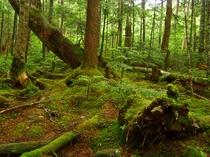 白駒池 原生林