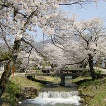 観音寺川桜