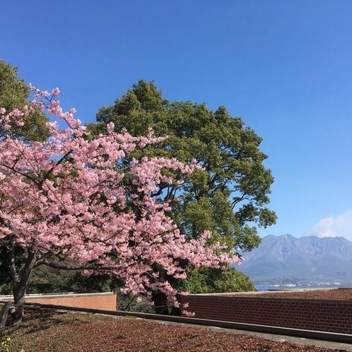 フロント前の河津桜
