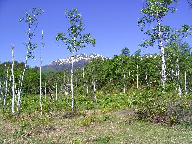 春の一の瀬園地。春白樺林と乗鞍岳