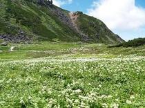 初夏の乗鞍岳のお花畑