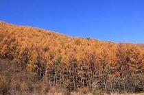 秋 黄金色に染まる唐松林