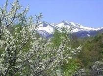 春のスモモと乗鞍岳