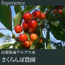 ▼さくらんぼ狩り体験(さくらんぼ農園)B