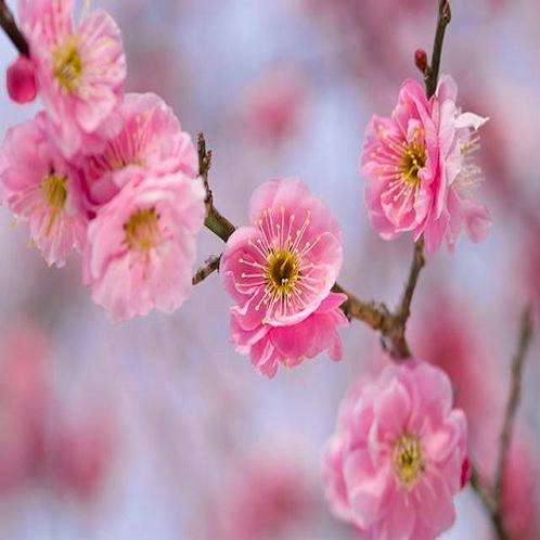 水戸梅祭り・偕楽園