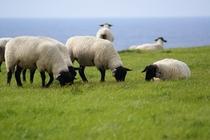めん羊牧場