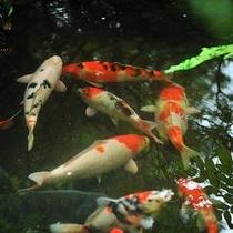 中庭の日本庭園は優雅に泳ぐ、大小様々な模様の錦鯉をご覧いただけます