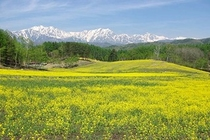 中山高原菜の花畑2