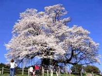 落合醍醐桜
