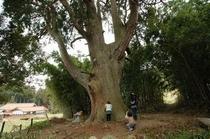 佐波良の大杉