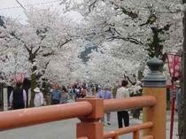 新庄村凱旋桜