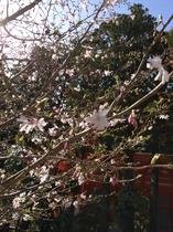 駐車場の桜その2