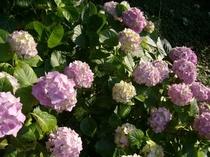 紫陽花 全景