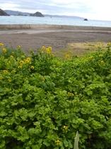 海の菜の花