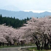 *水沢温泉郷近くの桜/水沢温泉郷は里の桜が散った一週間後くらいに見頃を迎えます。