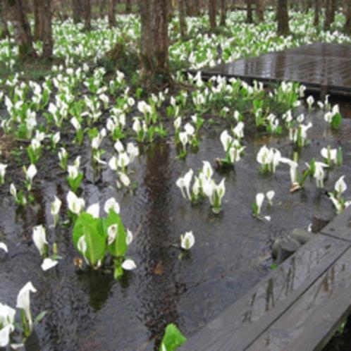 *刺巻湿原ミズバショウ群生地/JR田沢湖線の刺巻駅より徒歩15分。湿地帯一面に白く花が咲き誇ります。