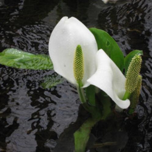 *刺巻湿原ミズバショウ群生地/4月中旬から5月上旬にかけては「刺巻水ばしょう祭り」が開催されます。