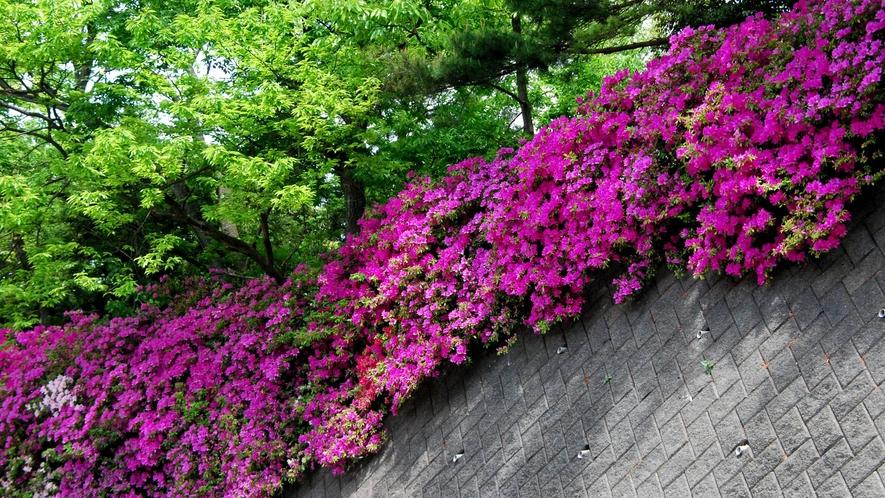 ★GW頃が見頃♪春の庭を彩る色とりどりの「つつじの花」が垣根20m程続きます。