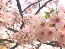 春の門出(桜満開)