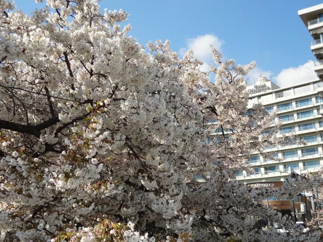 ホテル前の桜一例(1)