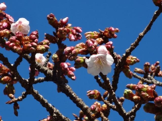 ホテル前「桜」