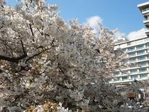 ホテル前の桜一例①