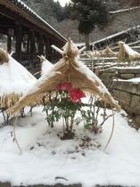 雪の中の寒牡丹
