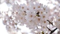 今年も綺麗な桜が咲きました。