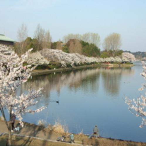 水戸市 千波湖 桜