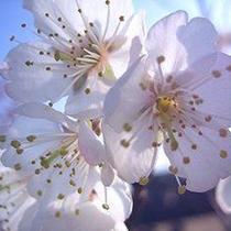 *冬桜(フリー)