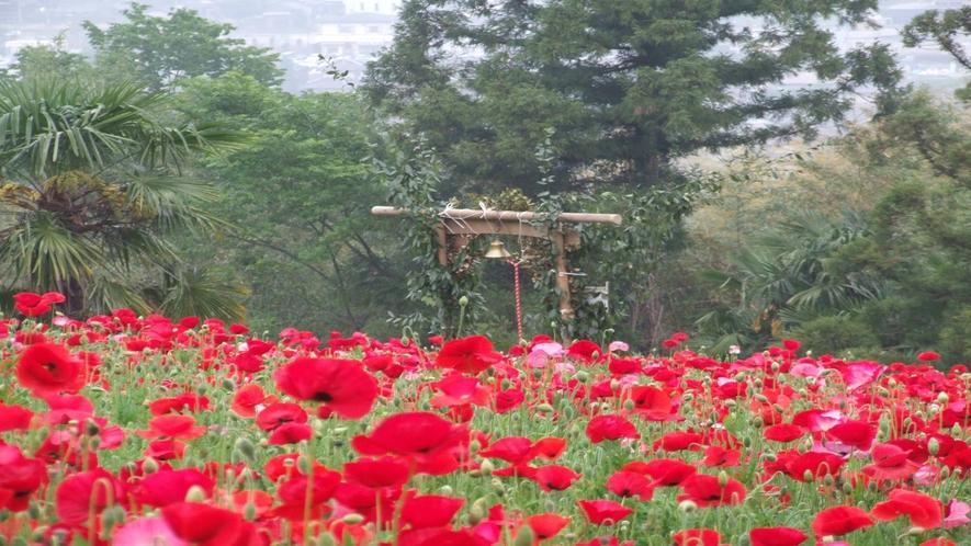 *ポピー畑  お花に囲まれて♪写真スポットとしても人気!