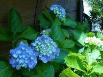 毎年、6月から7月にかけてペンションの花壇に咲く紫陽花。