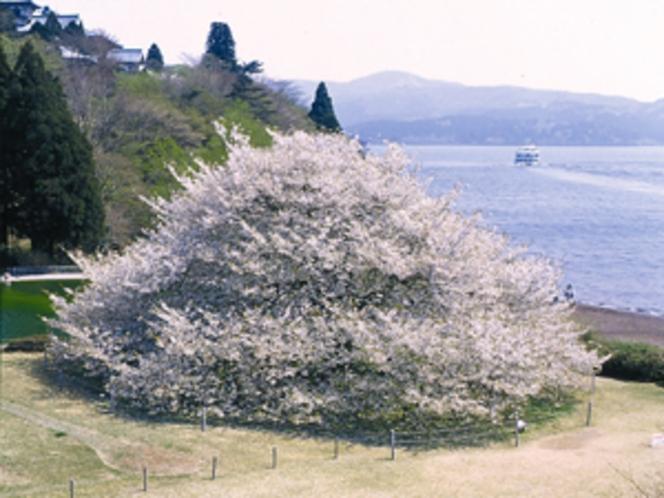 箱根園樹齢100年オオシマザクラ 名物1本桜