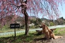 ワンコと桜