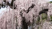 身延の樹齢400年のしだれ桜(仏殿前)