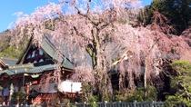 樹齢400年のしだれ桜。