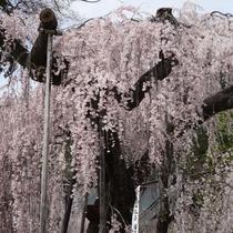 *身延山久遠寺のしだれ桜/駐車場の周りや境内、ロープウェイに乗らなくても散歩しながら楽しめます!