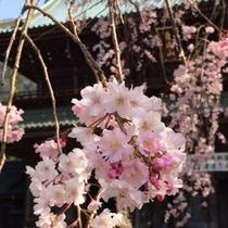 *しだれ桜/久遠寺周辺には30本の木があり、4月初旬の最盛期には訪れる人々を楽しませてくれます♪