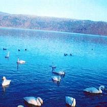 *【屈斜路湖】シベリアからの冬の使者「オオハクチョウ」が10月~4月の間、飛来します。