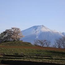 【為内の一本桜】岩手山をバックに咲く為内の一本桜(開花は5月上旬頃)ホテルより約20分。