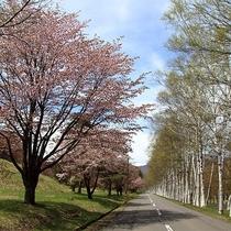 【県民の森の桜並木】白樺並木の新緑とのコントラストが楽しめる。(開花は4月下旬から5月上旬)