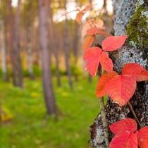 【岩手県民の森】地元写真家も撮影するつたうるしの紅葉。かわいらしい一枚が撮れます。